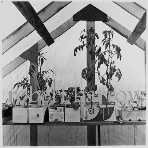 Tomato plants in greenhouse - Swan River MB 1982